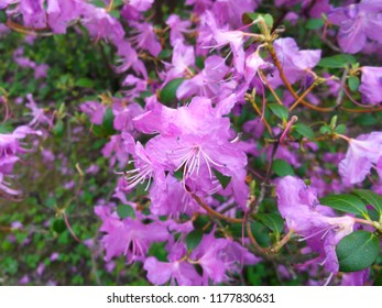 Pink rhododendron flowers. Gardening and floriculture.