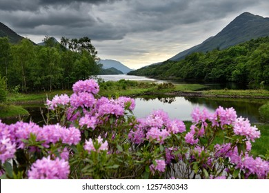 Pink Rhododendron flowers on River Leven at the Head of Loch Leven in Kinlochleven with Pap of Glencoe sugarcone and Mam na Gualainn ridge Scotland