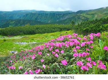 Pink rhododendron flowers on summer mountainside (Ukraine, Carpathian Mountains)