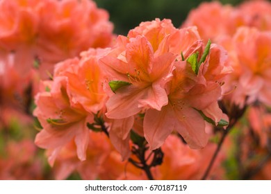 Pink rhododendron flowers in spring