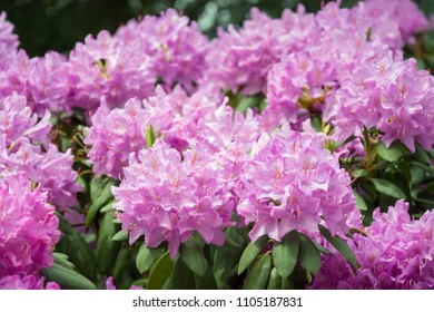 Pink rhododendron flowers with visible ovaries and filaments and green leaves