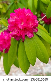 Pink Rhododendron plant in blooming on springtime in the park.