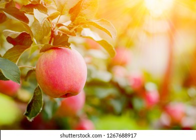 Pink Ripe Apples In The Garden With Bright Sun. Bright Red Apples With Sunlight