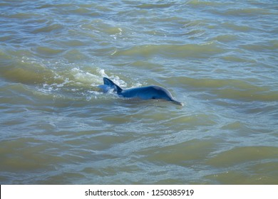 A Pink River Dolphin swimming at the Paramaribo river and Commewijne river in Suriname. Also known as Boto dolphin, Amazon river dolphin or Inia geoffrensis.