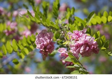 Pink Robinia Pseudoacacia Tree Flowers Know Stock Photo Edit Now