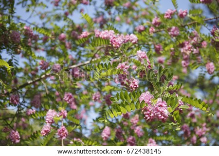Pink robinia pseudoacacia tree flowers know stock photo edit now pink robinia pseudoacacia tree flowers know as black locust genus robinia family fabaceae mightylinksfo