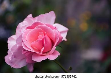 Pink rosa chinensis spring flower Japanese rose
