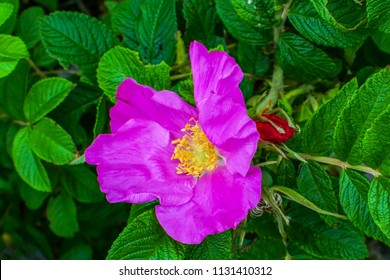 Pink Rosa Rugosa Beach Japanese Rose Green Leaves Close up Macro Invasive Species