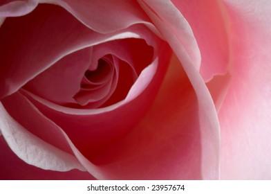 Pink Rose background macro