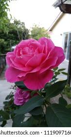 Pink Rose in backyard, San Jose, California