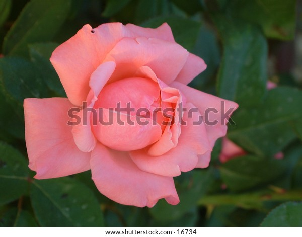 pink rose basked in the gentle early morning sun