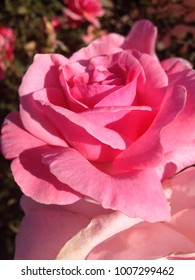 A pink rose bloom.
