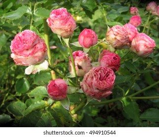 Pink Rose Blooming in Garden. Color photo of flowers. Photo for backgrounds. - Shutterstock ID 494910544