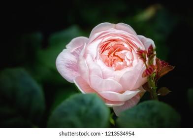 Pink rose blossom. Close up.