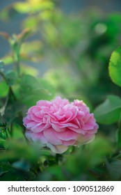 A pink rose blossom in the garden during the late afternoon.