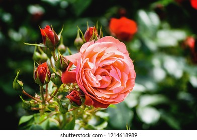 Pink rose blossom and red buds. Close up.