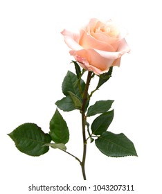 A pink rose branch gift isolated
