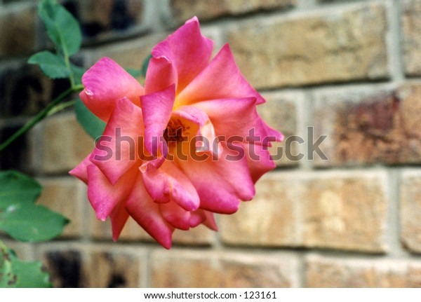 A Pink Rose with a Brick Wall for a Background