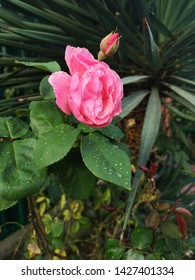 Pink rose and bud closeup on leaves covered with dew drops against the background of yucca