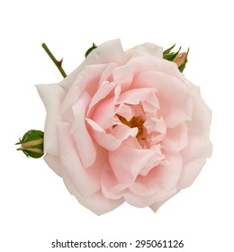 Pink rose with buds isolated on white