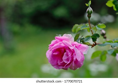 Pink rose with buds on summer day.