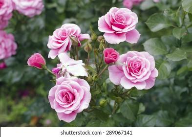 Pink rose bush / Flower background / Rose close-up / Macro flower