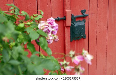 Pink rose bush in front of red door with old lock