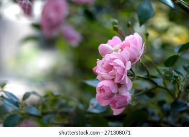 pink rose bush on selective focus background