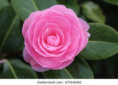Pink rose close up