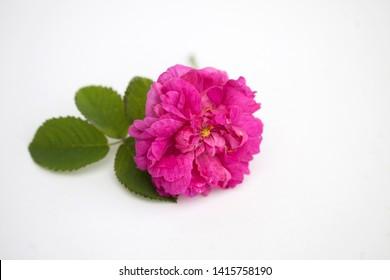 Pink rose Damascena from Bulgaria