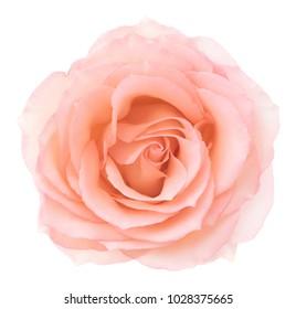 Pink rose. Deep focus. No dust. No pollen.