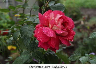 Pink rose with dewdrops on the petals