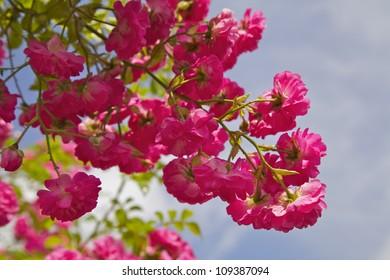 A Pink Rose in an English Garden