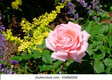 Pink rose in English garden