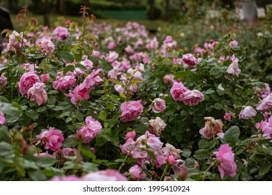 pink rose field on rainyday