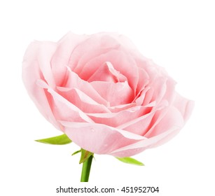 Pink Rose Flower