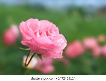 Pink Rose flower bloom on background blurry roses in roses garden.
