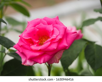 Pink rose flower in front