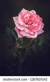 Pink rose flower in full bloom over dark background.