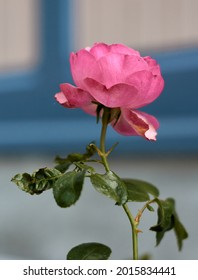Pink rose flower in the rose garden. side view. Soft focus.High quality photo
