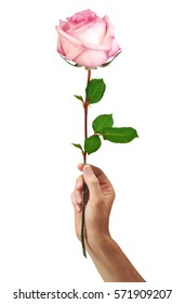 pink rose flower in hand men isolated on a white background