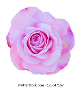 Pink Rose Flower isolated on white background with shallow depth of field and focus the centre of rose flower