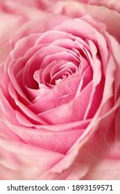 pink rose flower, macro detail, flower petals