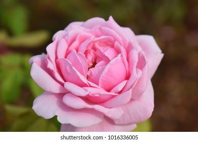 Pink rose flower on blur background.