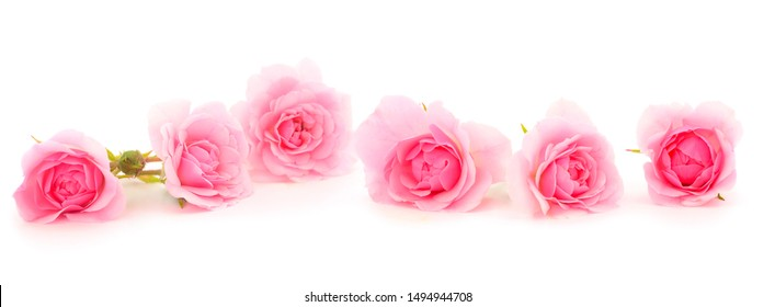 Pink rose flower on branch and leaf isolated on white background.