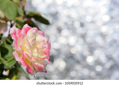 Pink rose flower on white bokeh background.