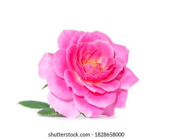 Rosa Blume auf weißem Hintergrund. (Rosa Damascena)