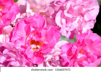 Pink Rose flower with raindrops on background pink roses flowers. Nature.