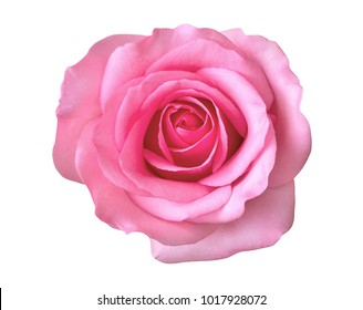 Pink rose flower top view isolated on white background, clipping path included
