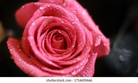 Pink rose flower with water drops macro shot closup
